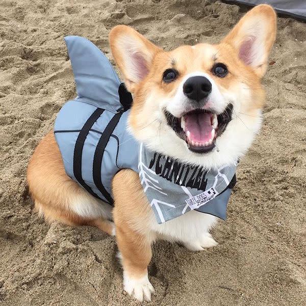 Photo of @furschnitzel at SoCal Corgi Beach Day