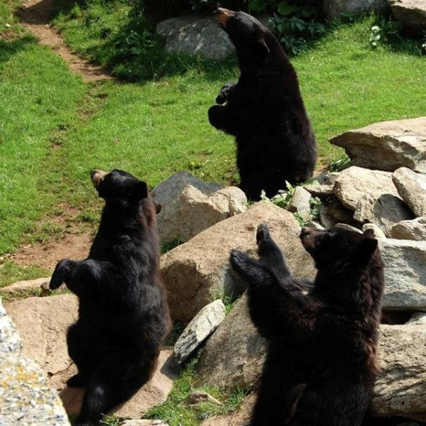 Black Bears on Grandfather Mountain