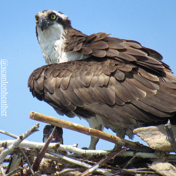 Osprey Image Birding Cayuga County - courtesy of scanlonheather
