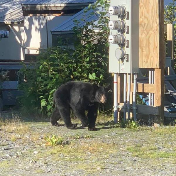 a black bear in an Alaskan town