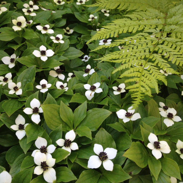 Dogwood flowers in Valdez