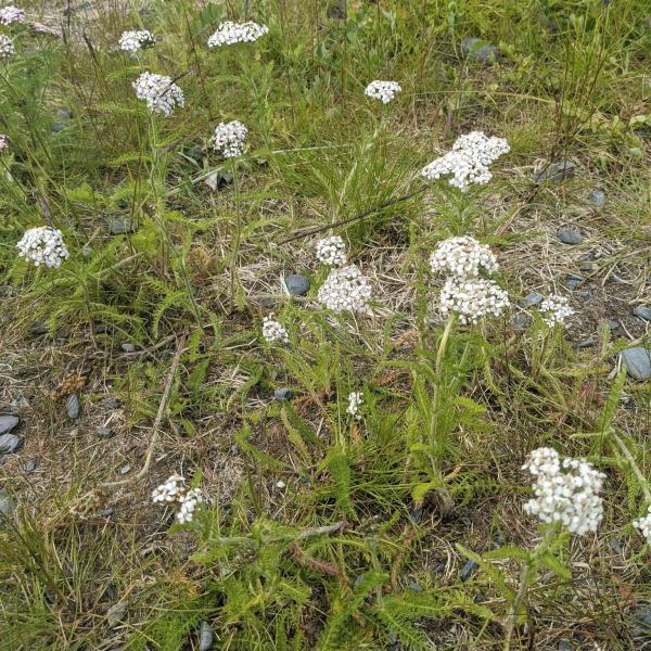 flowering yarrow plants