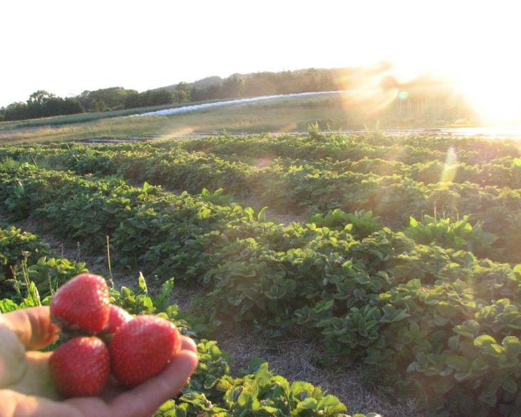 Strawberries are held up to the sun by a hand with rows of crops in the background