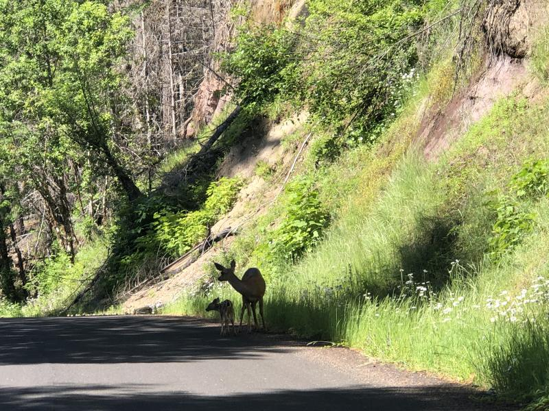 A fawn and dow deer on the side of shade-covered Aufderheide Scenic byway in summer.