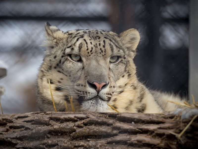 A snow leopard pokes its head out from behind a log at Assiniboine Park Zoo