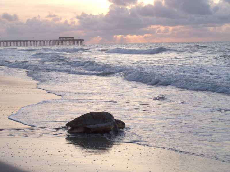 Sea Turtle on the beach at Myrtle Beach State Park, Myrtle Beach, SC