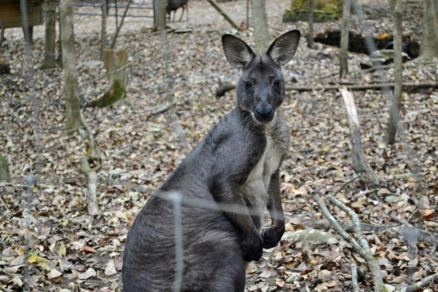 Kangaroo At Harmony Park Zenovia