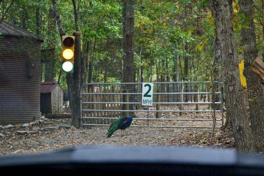 Peacock In Harmony Park Zenovia