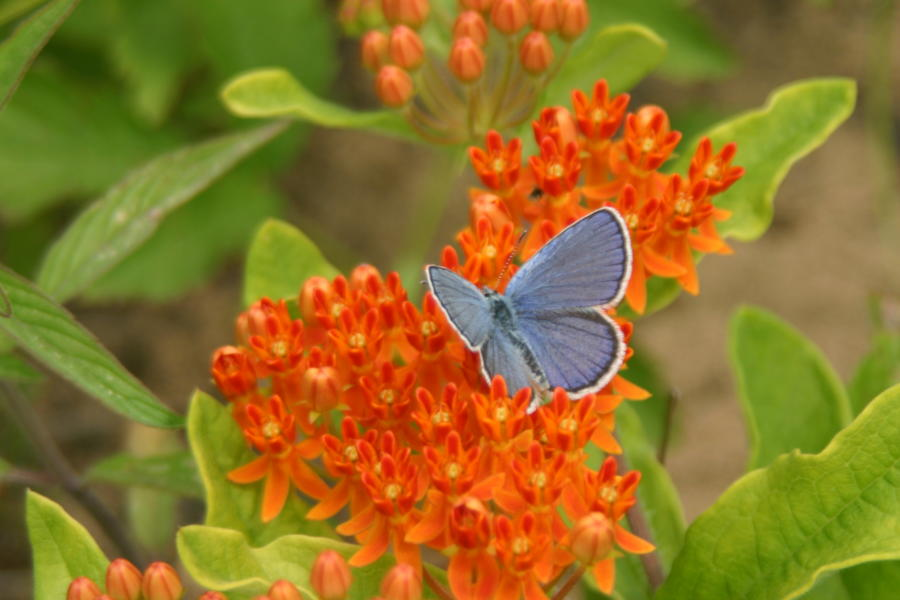 Karner blue butterfly on orange and green flowers at Albany Pine Bush Preserve