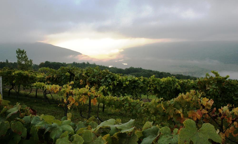finger-lakes-misty-morning-grape-vines
