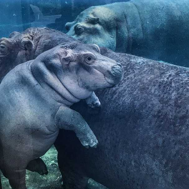 The famous Fiona the Hippo at the Cincinnati Zoo