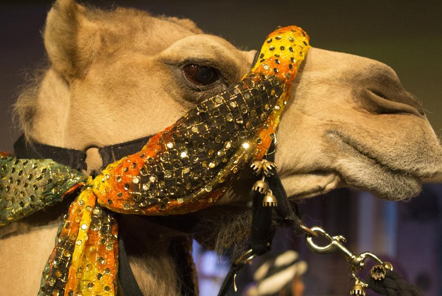 Sheba the Camel