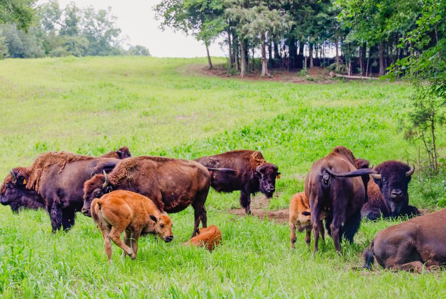 Tatanka Bison Ranch