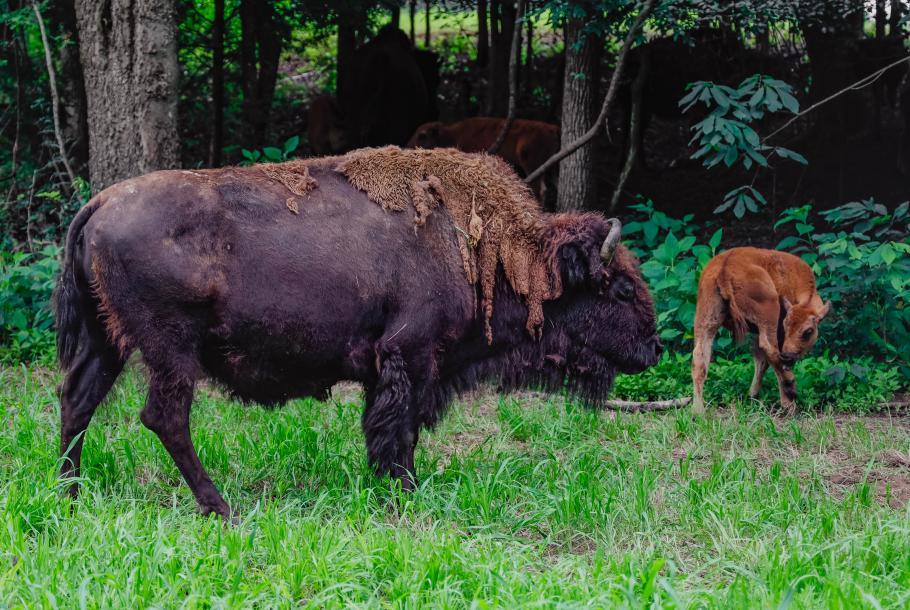 Tatanka Bison Ranch 2