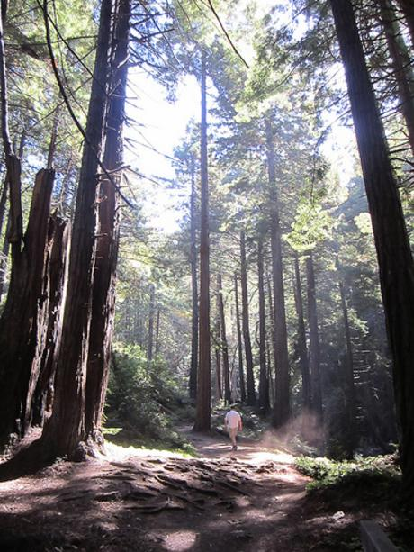 Redwoods at Limekiln State Park