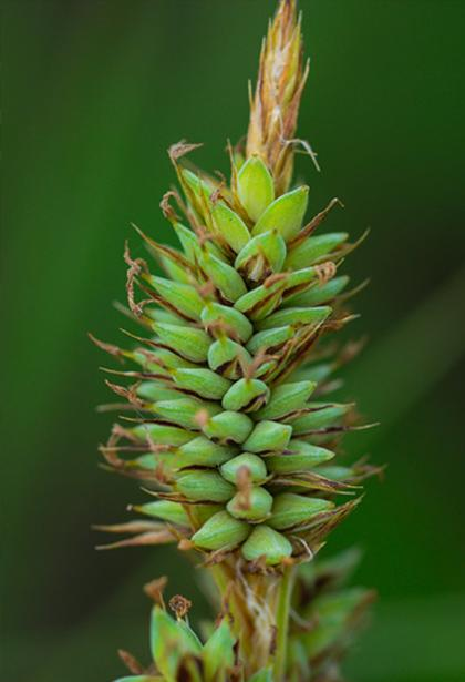 Dark-scaled sedge by Trevor Edmonson