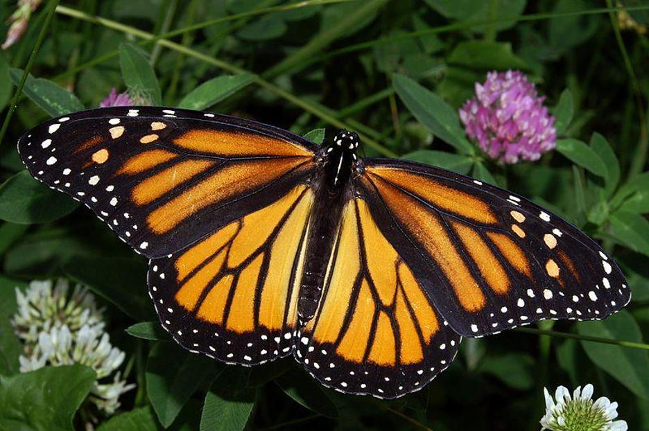 Butterflies of ABQ 1