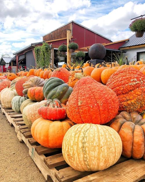 Pumpkins of all kinds at Loudounberry Farm