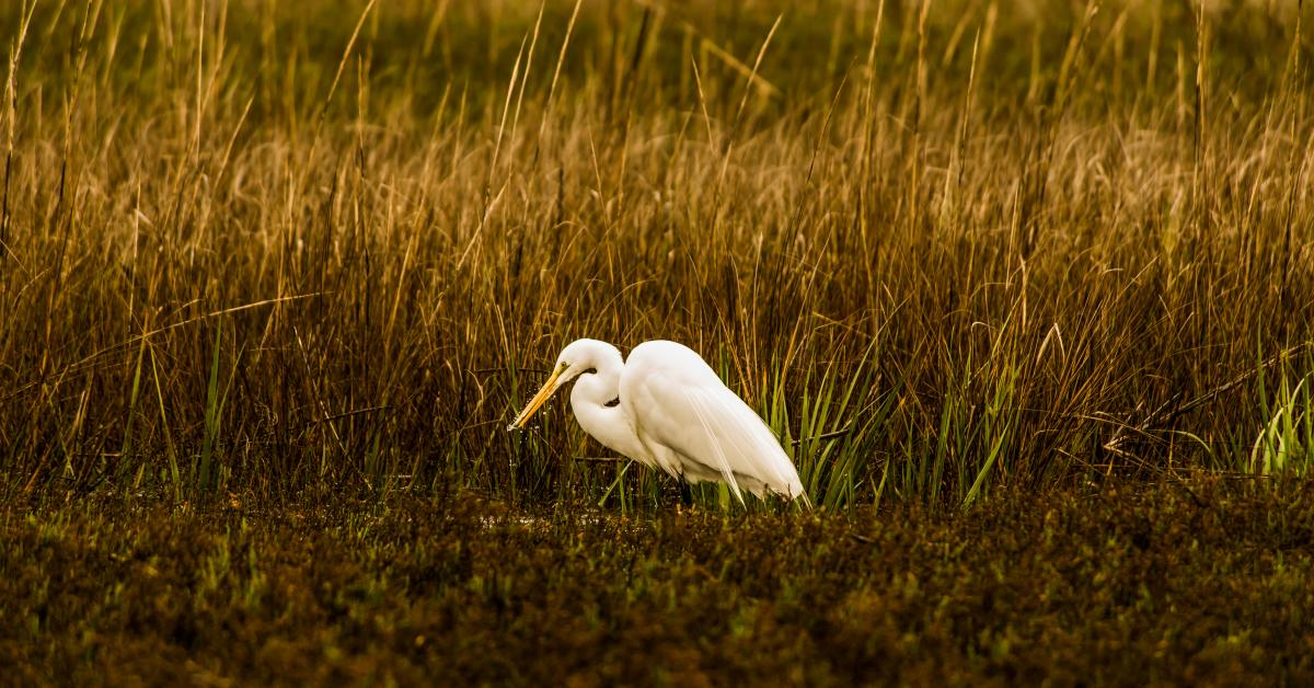 A great egret feeds in the marsh on Little St. Simons Island, Georgia