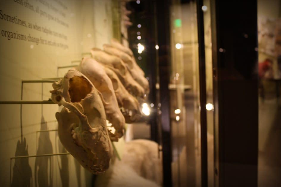 NHMU Skulls