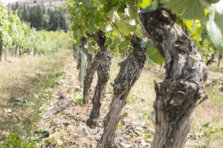 Old vines at CedarCreek Estate Winery