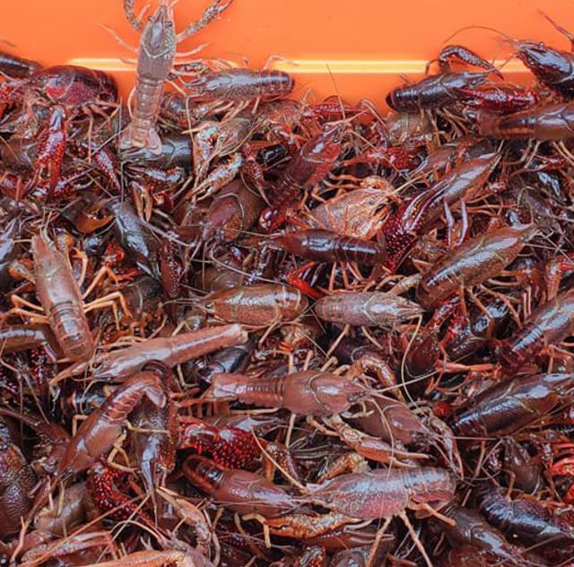 Crawfish Farm