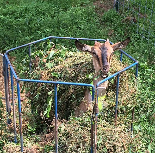 Triple R Farm goat
