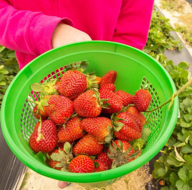 WDW Strawberries Field 3 2000x1500 72dpi