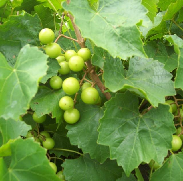 Hinnant Grapes