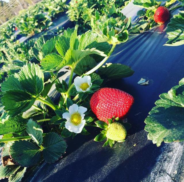 Pace Strawberries