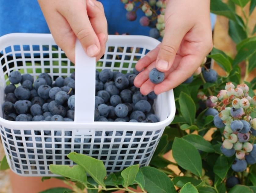 blessington farms blueberries