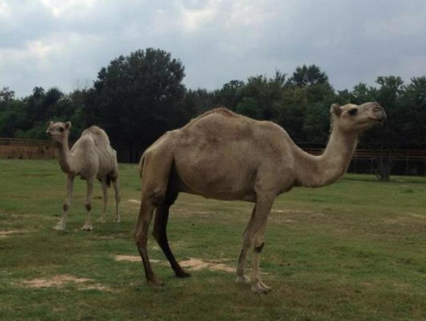 camels tgr