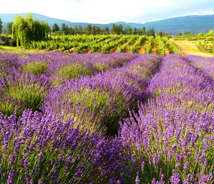 Rows of lavender under the Okanagan Sun