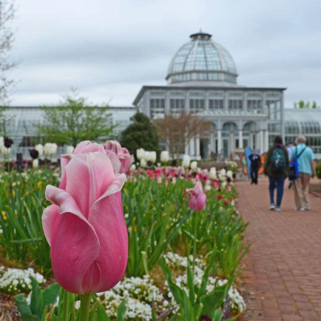 Conservatory spring with tulips