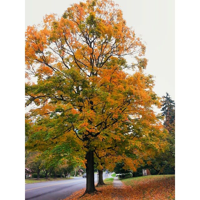 Fall Trees on the Street - Fall Photo