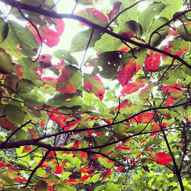 Leaves Turning Red - Fall Photo