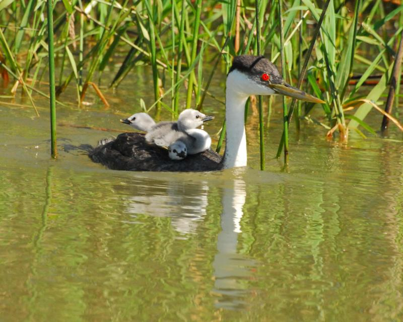Western Grebe with babies by Elisabeth Lake