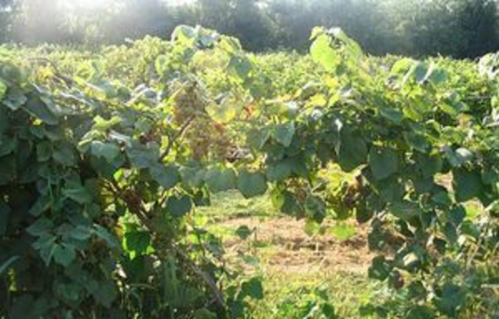 Marburg Estate Winery Ltd, York County, PA, Wine, Vineyard