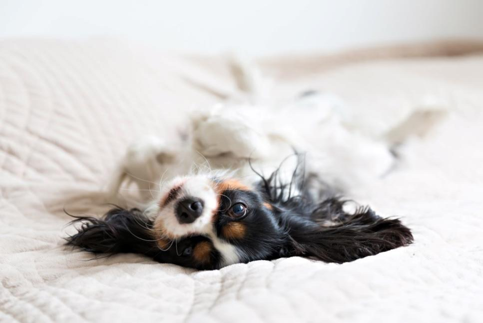 Whitehall Hotel Pet Package Stock Photo