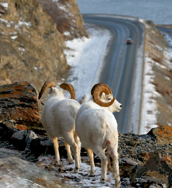 Dall sheep along the Seward Highway