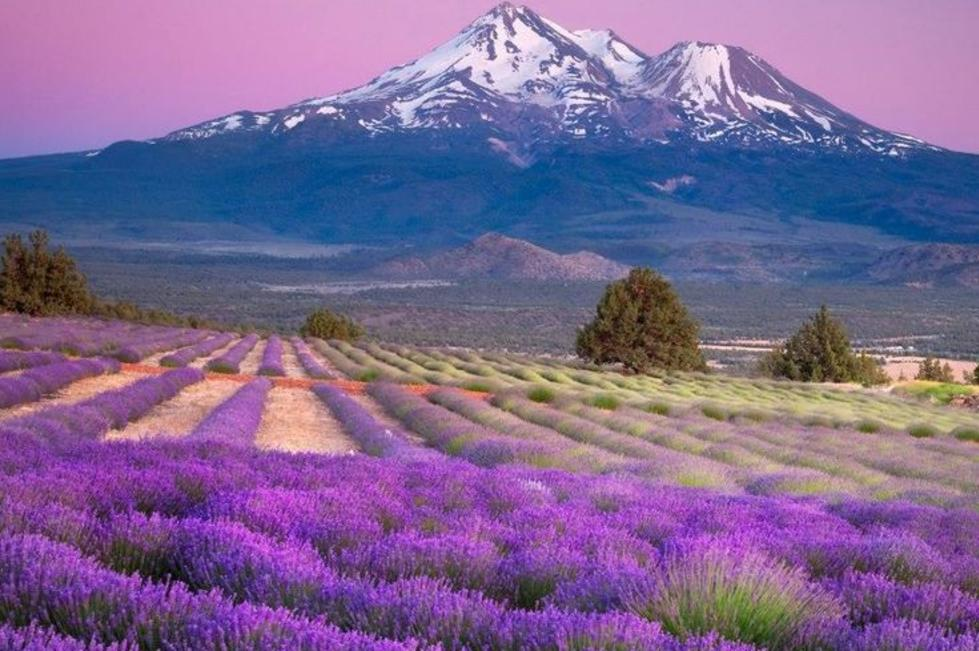 Young Living Lavender Farms