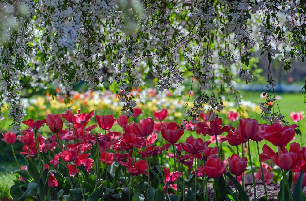 Tulips and flowering trees, probably at Foster Park