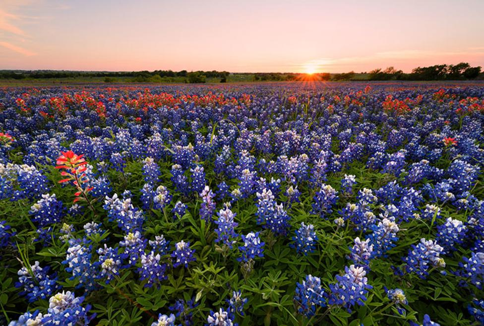Ennis Bluebonnet Trail