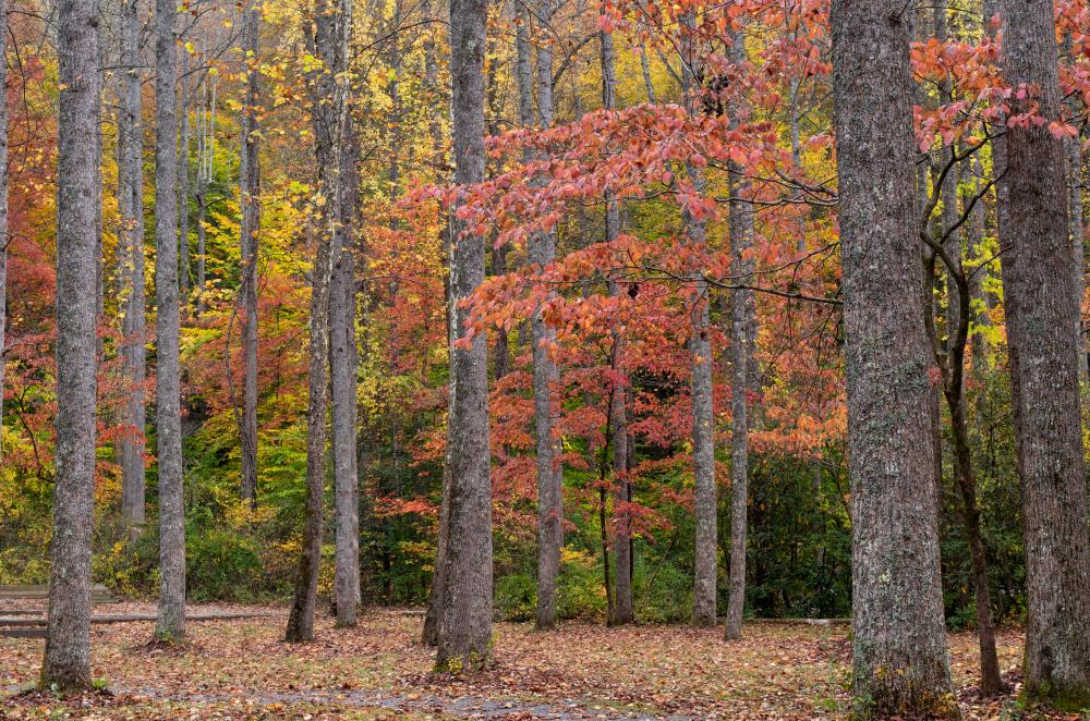 Colorful autumn trees in Pisgah National Forest near Asheville, NC