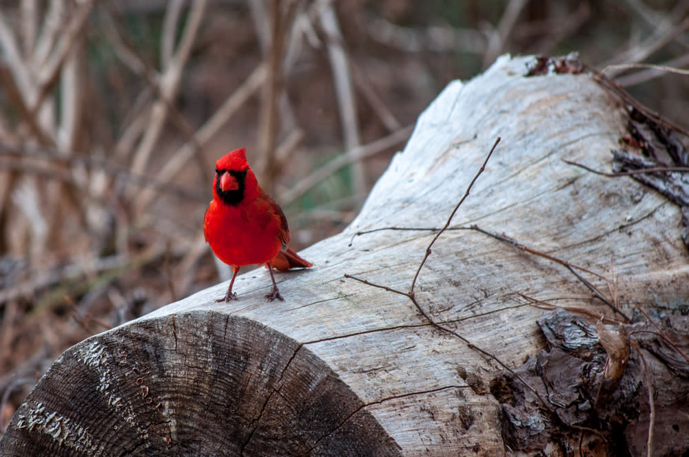 Cardinal on Tree Trunk at Bastrop State Park