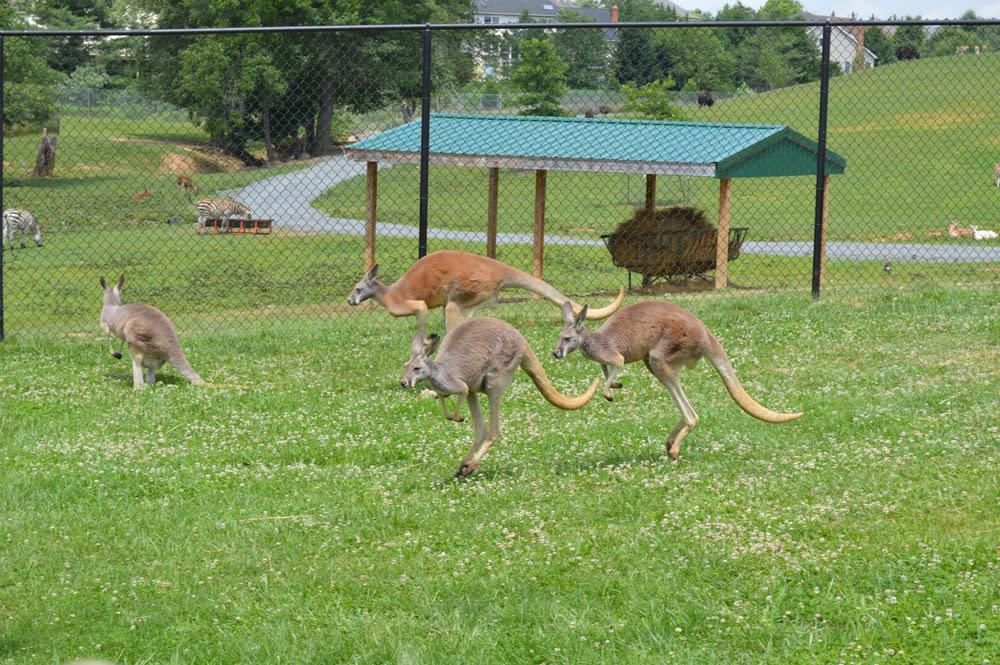 Roer's kangaroos - blog image