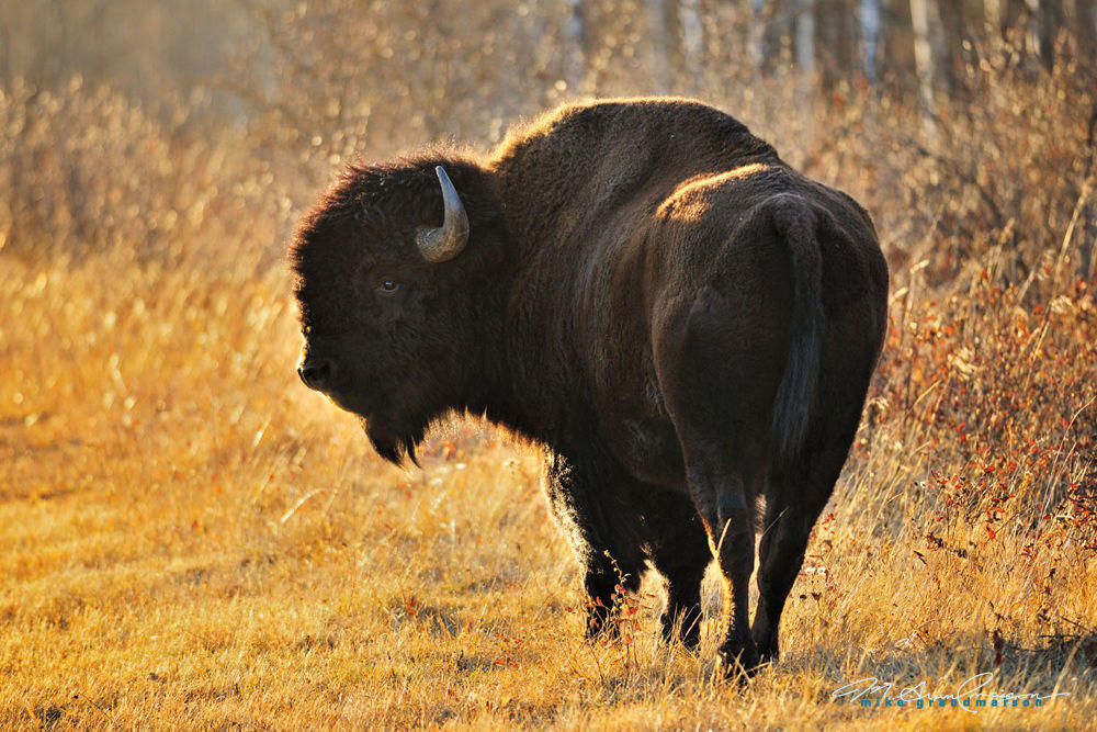 animals / fauna / wildlife / mammals / bison