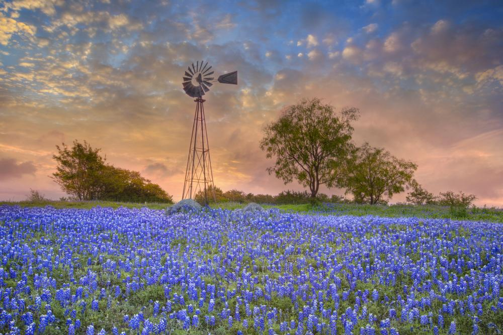 Windmill and Bluebonnets in the Morning
