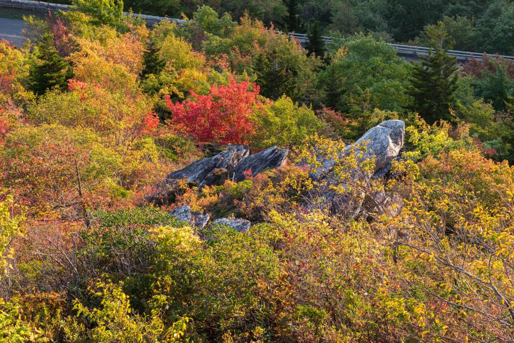 A bright red tree stands out among the rock outcroppings at Rough Ridge on the Blue Ridge Parkway