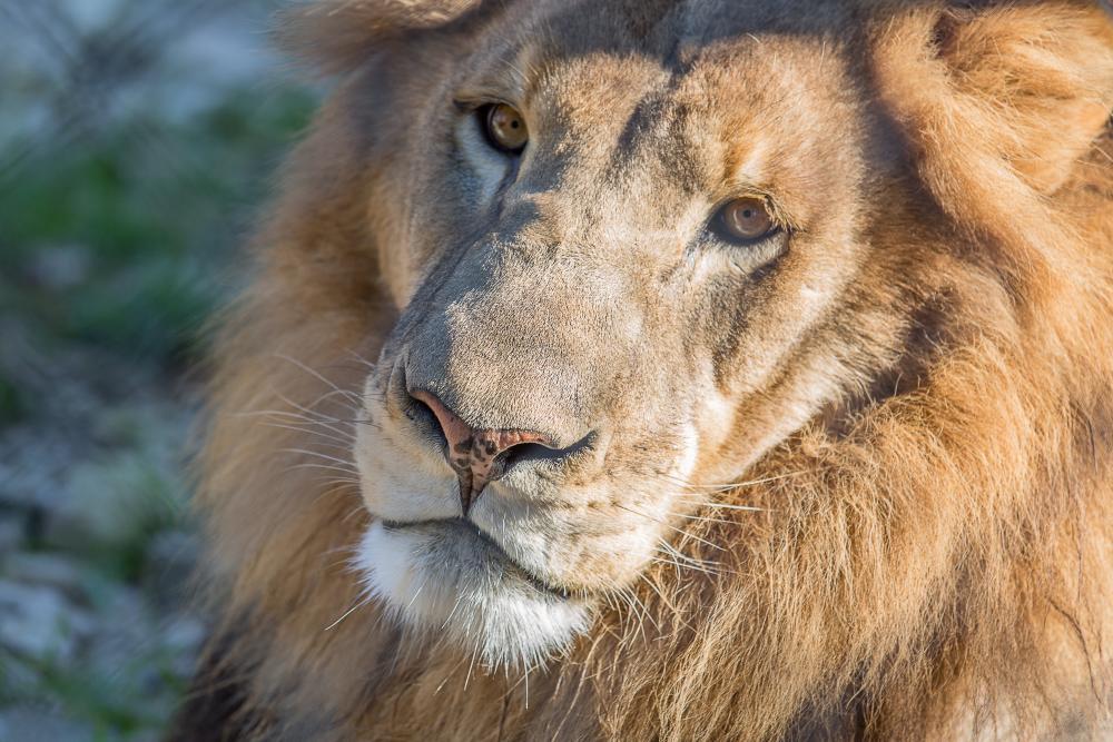 Jelani the lion at the Austin Zoo in austin texas